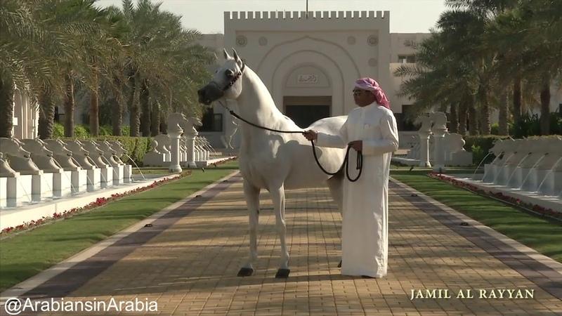 Al Rashediah Stud Arabian horses