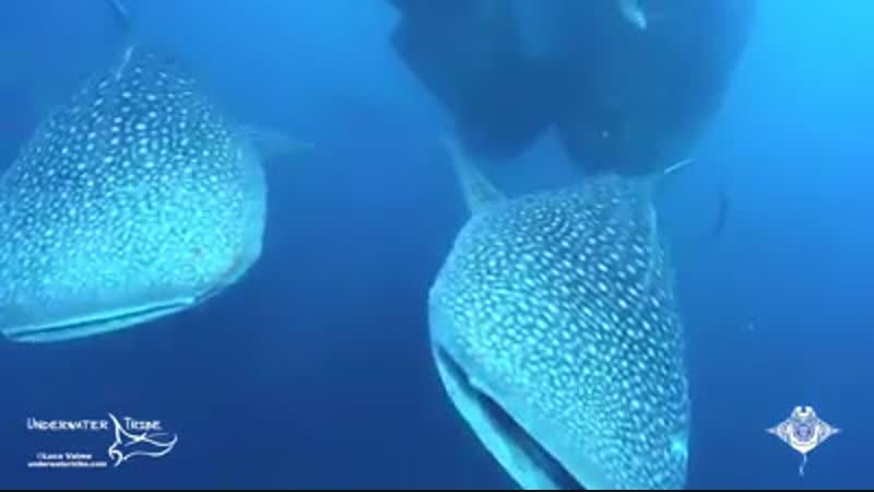 Китовые акулы в Индонезии