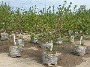 продажа декоративных деревьев