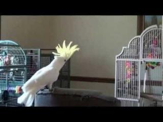 ritim kulağı olan papağan