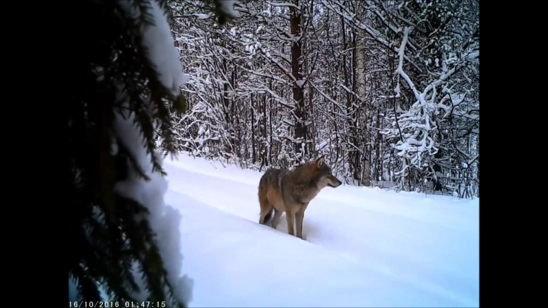 Волки на Тропе ...