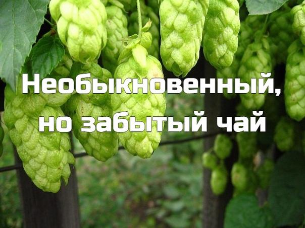 Чай с хмелем был с давних времен известен русскому человеку. Он обладает не только уникальным вкусом, но еще и множеством целебных свойств. Аромат этого чая очень приятный.