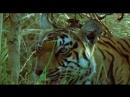 BBC ZHivaya priroda tigry 360