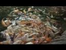 Как я кормил рыб