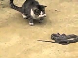 Необычная драка змея против кошки