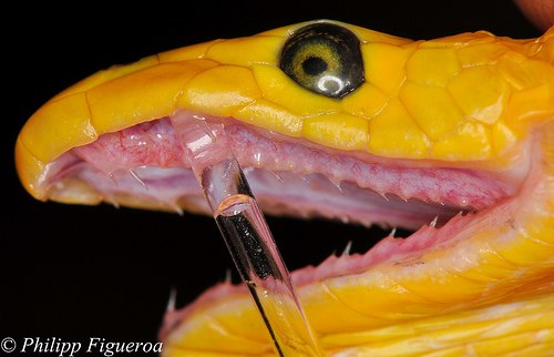 Эволюция змеиного яда