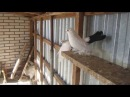Статные голуби Александра Зелинского