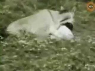 скрещивание армян с животными- YouTube.mp4