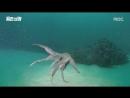 Размеры осьминога скольки метров и кг они достигают