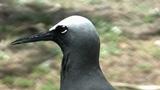Black Noddy or White-capped Noddy (Anous minutus) on Lady Elliot Island 1