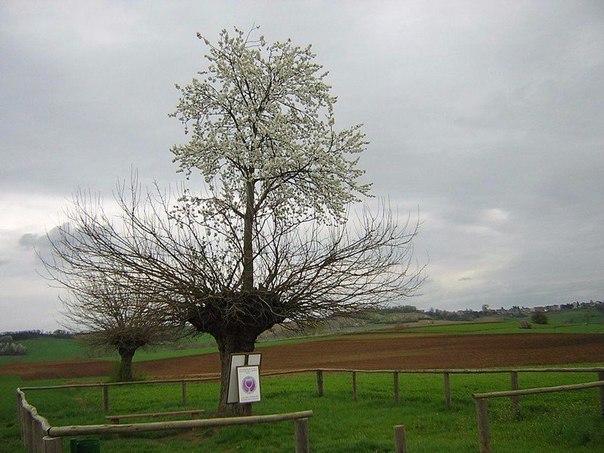 В Италии растёт тутовое дерево, на котором растет вишневое дерево