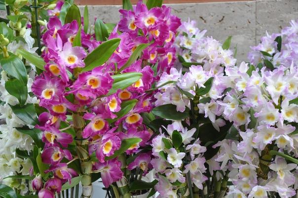 дендробиум дендробиум - одна из самых легких в домашнем уходе, а потому и популярных орхидей. дендробиум благородный родом из тропических стран южной азии, в природе ведет эпифитный образ