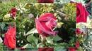 О черных и красных розах