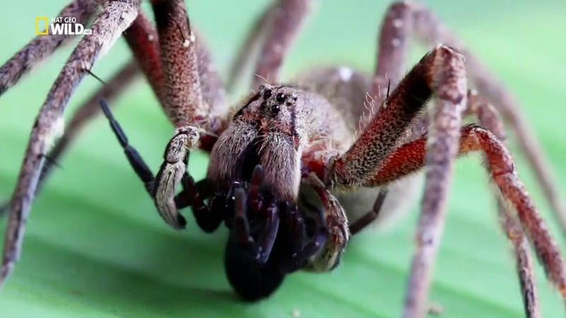 Nat Geo Wild: Прирождённые монстры. Бразильский паук (1080р)