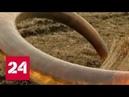 Разграбление страны: что мешает в борьбе с варварской добычей бивней мамонтов? - Россия 24