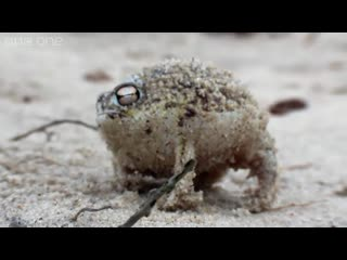 Пустынный узкорот angry squeaking frog - super cute animals