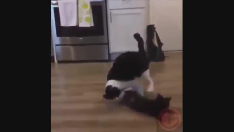Финал кошачьих боев без правил