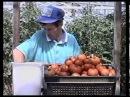 8  Выращивание томатов  Технология изобилия урожая по методу Миттлайдера)