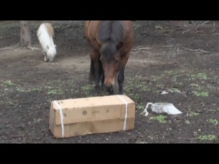 clever Icelandic Pony, Maari playing with box