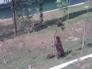 Медведица спасет медвежонка (кровь и бетон)