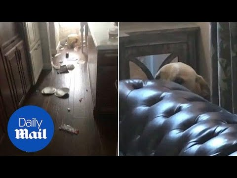 Guilty dog hides behind sofa after making epic mess in kitchen