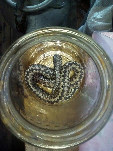 Подскажите что за змея? убил на даче сегодня.... Возможно кота укусила