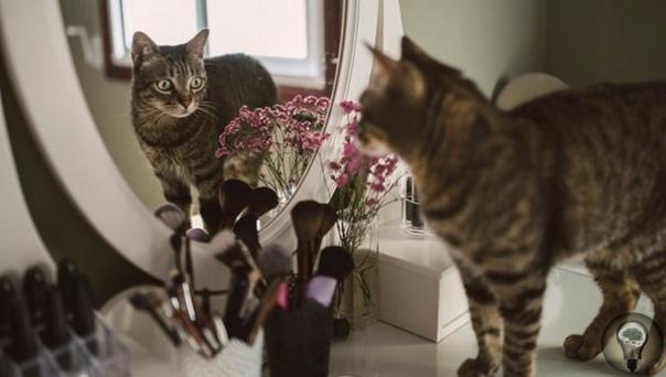 МОГУТ ЛИ КОШКИ УЗНАТЬ СЕБЯ В ЗЕРКАЛЕ. Наверняка многие владельцы кошек, хоть раз в жизни, подносили своего любимца к зеркалу со словами: «смотри, это ты!». Или же замечали странную реакцию