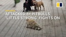 Attacked by pitbulls stray dog 'Little Strong' in China fights on