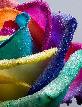 многоцветная роза
