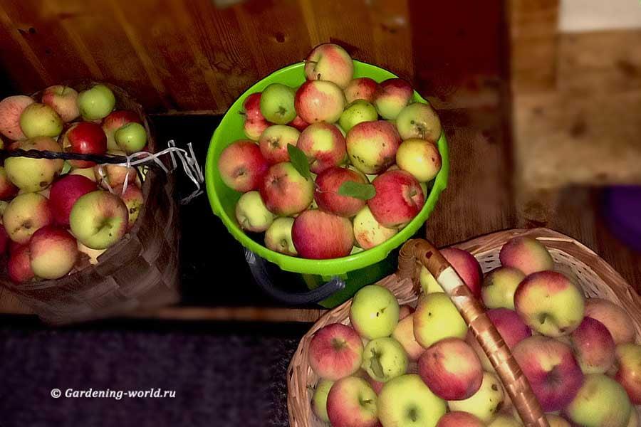 Когда собирать яблоки, урожай