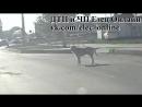 Пешеходы Ельца на примере животных