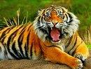 """Предпросмотр схемы вышивки  """"тигр """" ."""