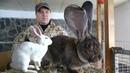 Идеальные кролики призёры для Челябинского клуба и коллег в Узбекистан