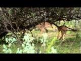 НАСТОЯЩИЕ МУЖИКИ. Негритянские охотники воруют еду у ЛЬВОВ !!