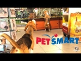 Funny Dogs at Petsmart WITHOUT A LEASH! Funny Beagles Louie &amp Marie