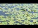 Утки рассекают водную гладь Головинских Прудов (Коптево) и бахатаются в воде от жары спасаясь 20180811_132523