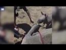 Храбрый носорожек защищает маму от ветеринаров