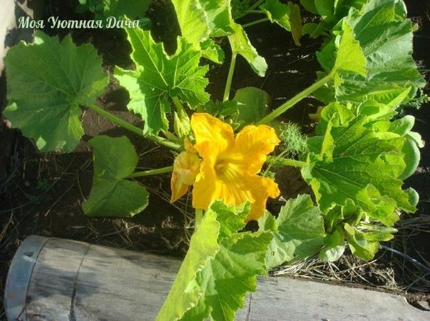 Почему не завязываются плоды кабачков, а молоденькие зеленцы начинают желтеть или загнивать