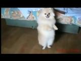 Цыганочка! Танцуют ШПИЦЫ