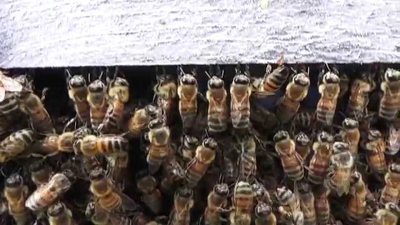 Honey Bees preparing to SWARM swarm interrupted, swarm cells, drones