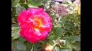 Черенкование роз. Самый простой и действенный способ.