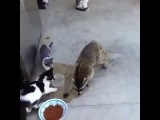 The Sneaky Raccoon - Vine by Fail Vine