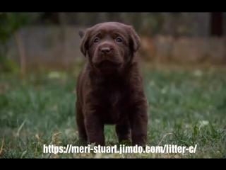 Kennel labrador retriever Meri-Stuart. Litter
