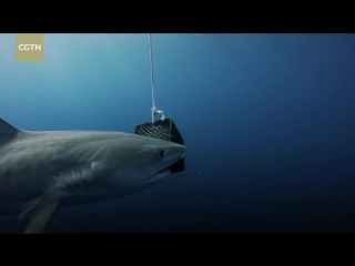 Terrifying close encounter with massive Tiger sharks off Florida coast
