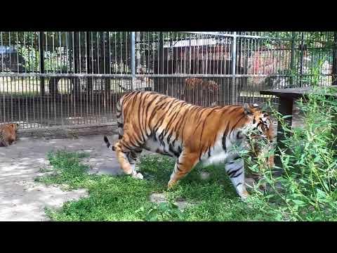 Тигрица вывела на прогулку котят в барнаульском зоопарке