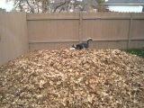 Смешной хаски играет с листьями
