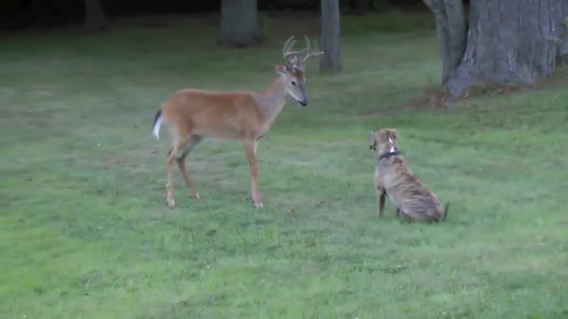 Bosco versus deer