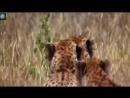 ВЕРСУС ЛЕОПАРДА! Леопард против льва, страуса, дикобраза!