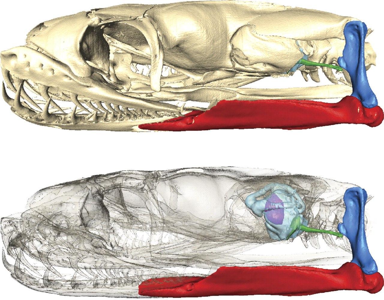 Череп королевского питона. Зеленое - слуховая косточка. Синяя - квадратная кость. Красное - сочленовная.