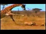Жираф против льва.